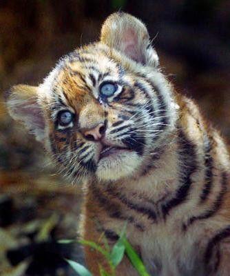 9 bebe tigre - Bebe tigre mignon ...
