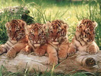 bebes tigres page 2. Black Bedroom Furniture Sets. Home Design Ideas