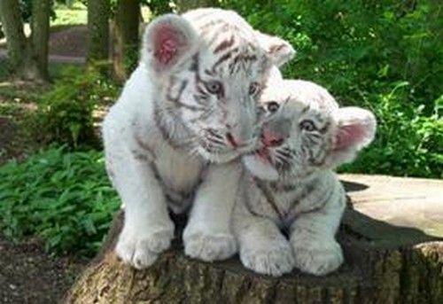 Bebes tigres - Bebe tigre mignon ...
